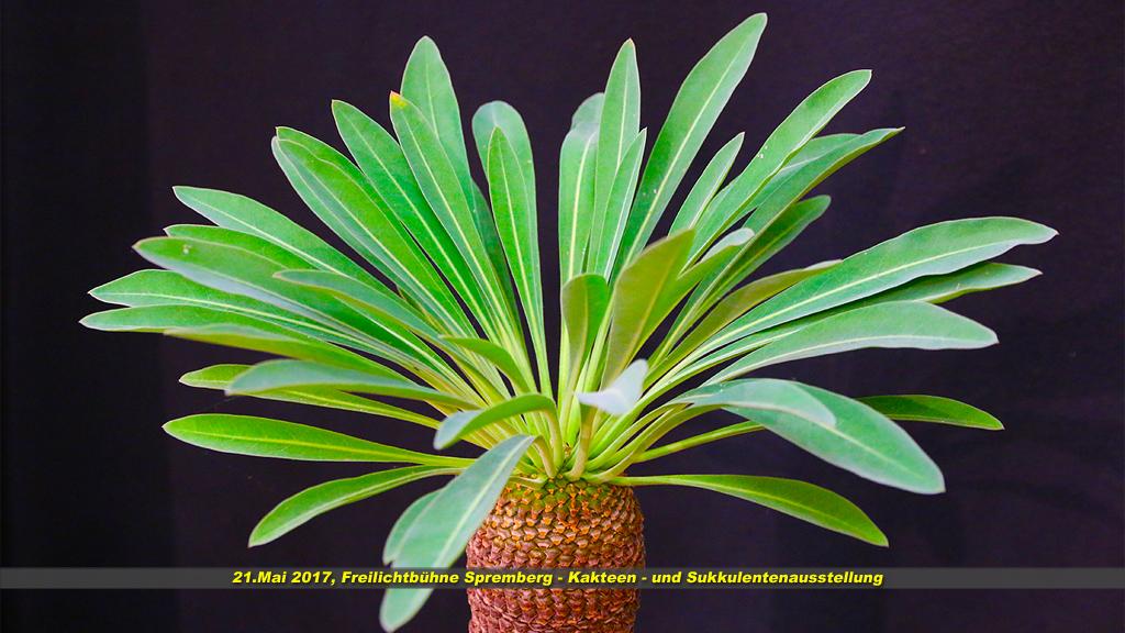Kaktus 13