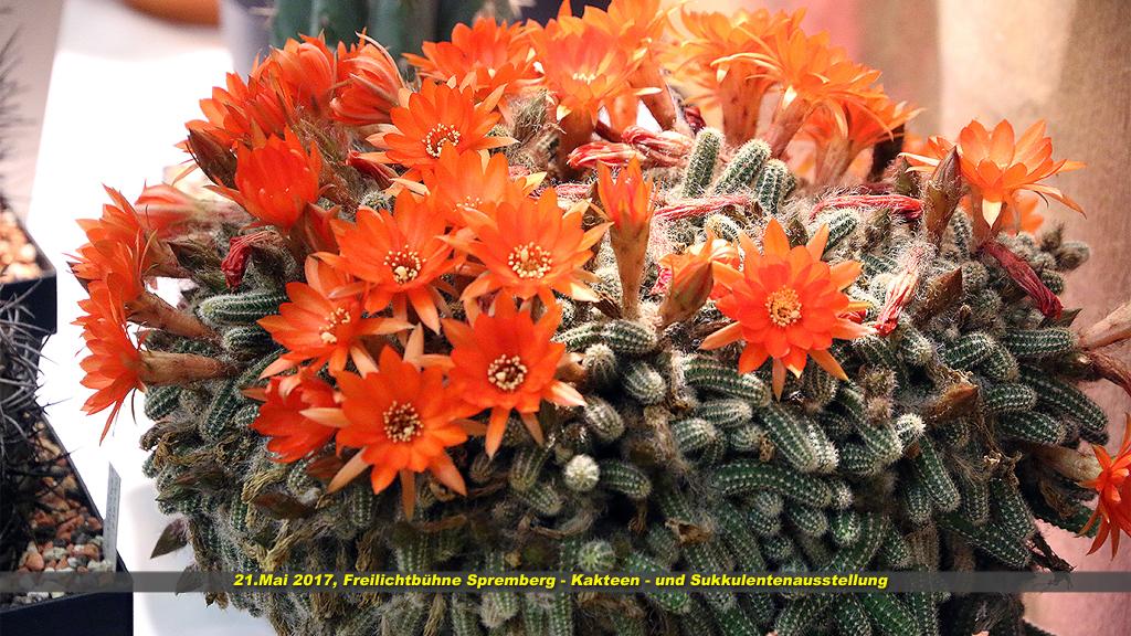 Kaktus 10